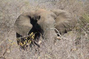 An African Elephant