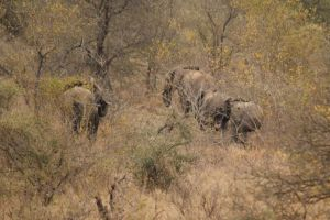 Breeding heard of elephant